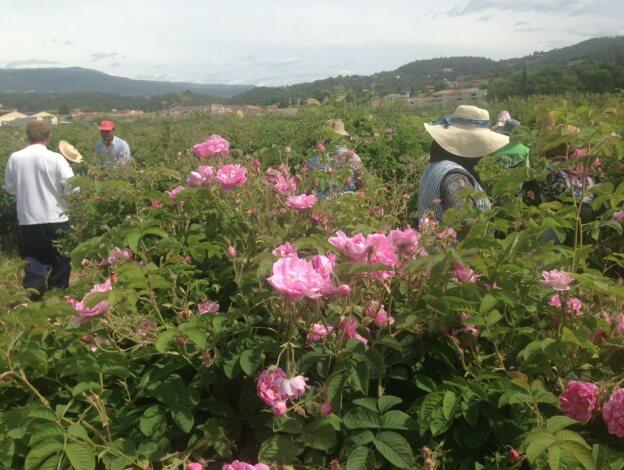Récolte en pays de Grasse